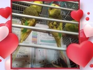 Baby parakeets